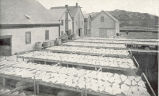 Drying Halibut for Smoking at Gloucester, Massachusetts. Salting, Storage and Smoking Houses in...