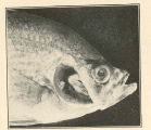 Head of crappie, Pomoxis sparoides, with operculum removed to show small lesion on gill