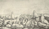 Reduced Copy of Choris's Picture of Fur Seals. Voy. Pitt. Aut. Monde Plate XV (1822)