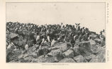 Murres or arries on Walrus Island, July 16, 1914