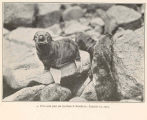 Fur-Seal pup on Gorbatch Rookery, August 19, 1914