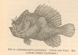Antennarius altipinnis. (From the type.)