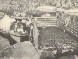 Fifteen tons of eels aboard a scow for delivery to cold storage plant to be preserved for food for...