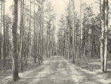 Lakewood (N.J.) Driveway Through the Pines. A sandy pine woods from which the litter has been...