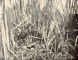 Coot (Or Mud-Hen) and Nest
