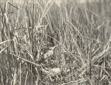 Least Bittern and Nest