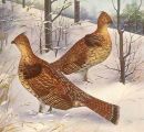 Birds in Winter (Ruffed Grouse)