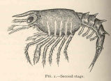 Larval Lobsters, Lateral View--Second stage