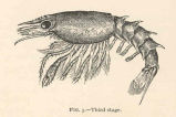 Larval Lobsters, Lateral View--Third stage