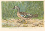 Blue-Winged Teal (Anas discors Linn.)