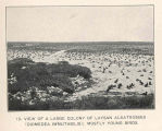 View of a large colony of Laysan Albatrosses (Diomedea immutabilis); mostly young birds