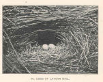 Eggs of Laysan Rail
