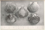 Seed scallops, with a small amount of white worm tube (Serpula) attached to the shell. These...