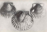 Scallop on the left, as indicated by the arrow, has been killed by the oyster drill, which has...