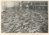 Forty Thousand Sockeyes on the Cannery Floor, Fresh from the Traps and Ready for the 'Iron Chink'