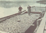 Scowload of 410,000 Alaska Herring at Hetchikan Dock. Showing C. O. Julian, Prominent Exploiter of...