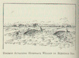 Eskimos Attacking Humpback Whales in Behrings Sea