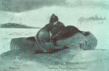 Old Bulls FightingFur Seals in Deadly Combat; a Thousand such Conflicts are in simultaneous Action...