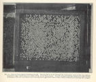 Tray of trout eggs in hatching trough. The fry fall or work through the rectangular mesh of the...