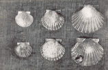 Young, yearling, and two-year-old scallops. The small scallops on the left are three months old...