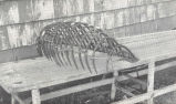 Claw Quahaug Rake.--This rake varies greatly in size and length. Its use is chiefly confined to...