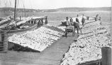 Drying Fish on Wharf, Halifax, Nova Scotia