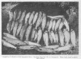 Caught in a tributary of the Squamish River. Reached from the City of Vancouver. These forty trout...