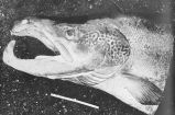 Head of a 63-lb. Male Salmon, caught by the rod on the Tay, October 1907