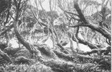 Interior of the Rata Forest, showing prostrate habit of growth of Metrosideros lucida, Camp Cove,...