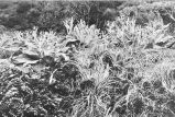 General view of a piece of Plleurophyllum meadowPoa foliosa on right, stilbocarpa polaris and...
