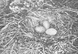 Nest and Eggs of Larus dominicanus (Black-backed Gull), Masked Island, Auckland Islands