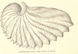 Argonauta argo, side view of shell