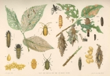 Elm Leaf Beetle and Bag or Basket Worm : Elm Leaf Betle (Galerucella luteola (Muller) 1.Cluster of...