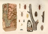 Elm Borers and Elm Bark Louse : Elm Borer (Sapreda tridentata Oliv.). 1. Larva or grub within its...