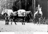 Man with packtrain, probably on the Olympic Peninsula