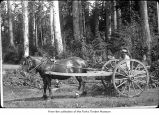 Man on a horse drawn cart, probably on the Olympic Peninsula