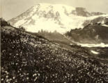 Avalanche lilies in Upper Paradise Valley,  Mount Rainier National Park, Washington, ca. 1925.