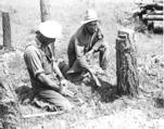 Placing dynamite at the stump of a felled tree, 1940.