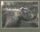 Kodiak Bear shot by E.H. Harriman, Kodiak Island, Alaska, July 1899.