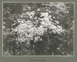 Arenaria (sandwort) on Hall Island, Alaska, July 1899.