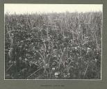 Field of wild strawberries, Yakutat Bay, Alaska, June 1899.
