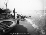 Dogs catching fish in the surf on the beach at Nome, Alaska, ca. 1900.