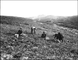 Children picking blueberries, Anvil Creek, vicinity of Nome, Alaska, ca. 1901.