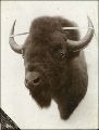 Mounted buffalo head from a store, Tacoma, Washington, ca. 1900.