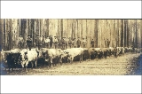 Hauling logs along skidroad with a team of oxen, Washington, ca. 1898.