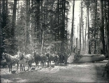 Hauling logs along skidroad with a team horses, Washington, ca. 1898.