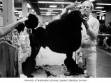 "Owner David Lewis of Portland, Oregon grooming his standard poodle ""Roy"" for the 57th..."