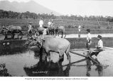 Farm workers cultivating rice paddies with water buffaloes, Java, ca. 1921