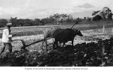 Man plowing field with water buffaloes, Java, ca. 1921