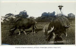 Farmer and water buffalo in field, China, n.d.